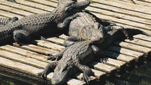 The crocodiles were spotted in different parts of Vadodara (representational image).(Unsplash)