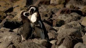 Same-sex penguin couple to raise 'genderless' chick
