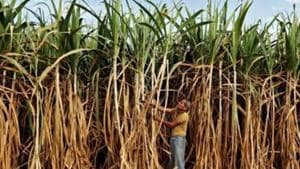 Sate Minister,Suresh Rana warns the sugar mills to clear dues of sugarcane growers.(Reuters Photo( Representational Image))
