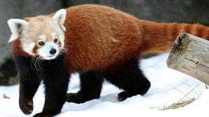 Red pandas bred in captivity fitted with radio collars to be released in National Park in Darjeeling for captive breeding