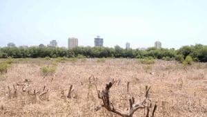 Mangroves at Gorai make up part of the green stretch dividing Mumbai and Mira-Bhayandar municipal corporations.(HT Photo)