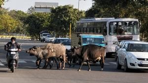 There are an estimated 2,000 stray cattle in the town and officials have been able to catch only 200 animals in one year.(HT FILE)