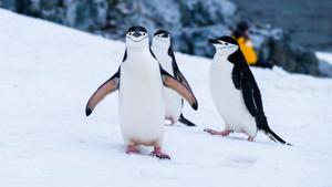 On Half Moon Island, chinstrap penguins -- named for the black stripe on their chin -- strut about in the spring breeding season, raising their beaks and screeching from their rocky nests. (REPRESENTATIONAL IMAGE)(Unsplash)