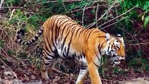 Five tigers to be translocated from Corbett to Rajaji Reserve