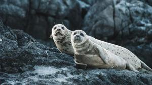 Dozens of tourists come each day to see the white-furred seal pups (representational image).(Unsplash)