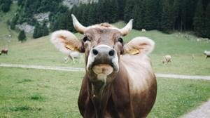 Cows can communication through distinctive moos. Here's how