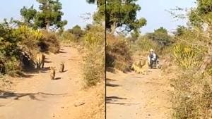 The video shows the lioness and her two cubs walking on a narrow path road when suddenly a bike comes in their way.(Twitter/@mpparimal)