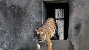 Inchara, the Royal Bengal tigress, has been released at Tiger Safari of Ludhiana Zoo on Wednesday.(Harsimar Pal Singh/HT)