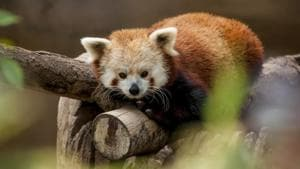Genetic study reveals the endangered red panda is actually two separate species