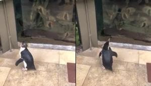 A video shows a glimpse of one of the penguin's special visit and boy, is it precious or what?(Twitter/@shedd_aquarium)