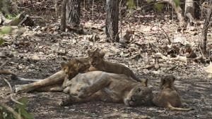 In this Sunday, March 15, 2020 file photo, a lioness feeds her cubs at the Gir National Park and Wildlife Sanctuary, also known as Sasan Gir in Gujarat, India. The Gir forests are the only natural habitat of the Asiatic Lions in Western India. (AP Photo/Ajit Solanki)(AP)
