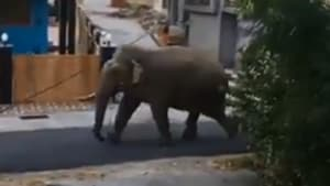 The image shows the elephant wandering around.(Screengrab)