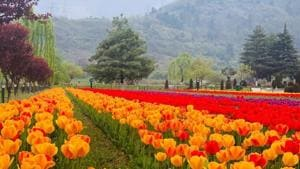 Besides an array of tulips blossoming here, the garden also boasts of a variety of hyacinths, daffodils and pansies.(HT Photo)