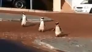 The image shows the three penguins.(Twitter/@SANCCOB)