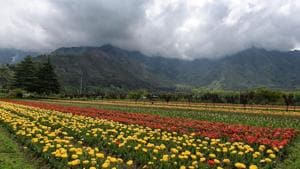 The 30-hectare tulip garden at 'Siraj Bagh' has transformed into a sea of colour but looks desolate without any visitors.(Waseem Andrabi / HT Photo)
