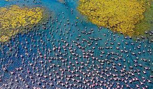 A flock of flamingos at the Talawe wetlands.(Pratik Chorge/HT Photo)