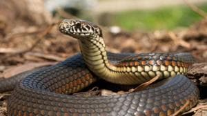The police have arrested Sooraj, a resident of Adoor and a private bank employee, and Suresh P, a snake catcher who helped him in the crime.(Getty Images/ Representational image)