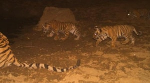 Sariska's tiger population goes up to 20 with three new cubs