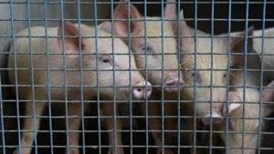 The Assam government had banned sale and consumption of pork in the ASF- affected districts on April 25 following the spike in death of pigs.(HT File Photo)