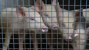 The ban has taken effect China strives to restore pig production after the deadly disease ravaged its massive herd last year, a Reuters report said.(File photo for representation)