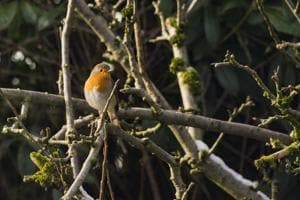 A robin on a branch in an apple tree in an English garden.(Getty Images)