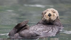 Reintroduced otter populations in Canadian west coast yield economic benefits: Study