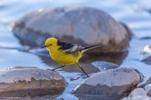 A Citrine wagtail steps and skips across summery stones at the Indus river, Spituk village, Ladakh.(PHOTO: CHOLDAN GASHA)