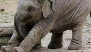 The pic of the baby elephant shared by Swami Ramdev.(Twitter/@yogrishiramdev)