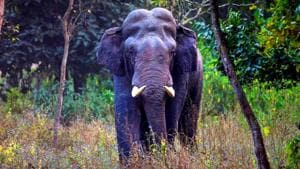 Uttarakhand can't radio collar this elephant, points to its 'size'