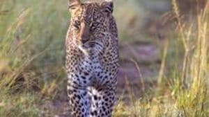 The boy Harshit was playing in the ground near his house when the leopard suddenly pounced on him and dragged him towards the forest area.(Getty Images. Representative image)