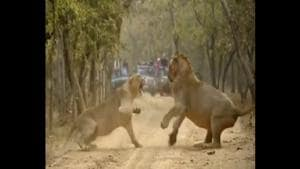 Shot by wildlife photographer Zubin Ashara, the video shows a lioness and a lion fighting with each other .(Twitter/@WildIndia)