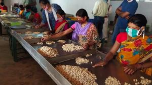 The forest department claimed nearly 6,000 forest dwelling families have collected cashew this year and each family has earned the average income of Rs 10,000 in Bastar.(HT Photo)