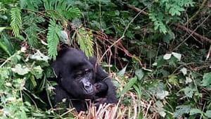 A Fully grown Gorilla holding baby in Bwindi National Park Uganda.(AP)