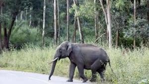 Aggression of some elephants in Uttarakhand's Corbett and Rajaji National Park landscape, two bastions of wild elephants in the state, is a major concern for wildlife officials. (HT File)