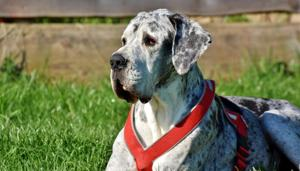 Ralph, the 4-year-old Great Dane was unharmed in the fire.(Pixabay)