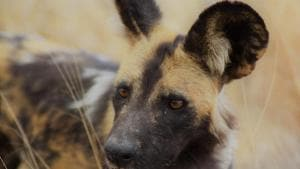 African wild dog's unique anatomy helps sustain its life on the run