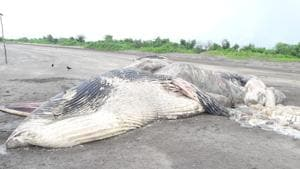 The decomposed whale carcass at Theronda in Alibag that was washed ashore on Sunday.(Sourced Photo)