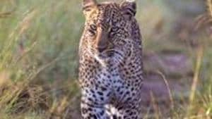 The leopard that has been on the prowl in the area for the past three months and has killed a few cattle and dogs. Photo for representation only.(Getty Images)