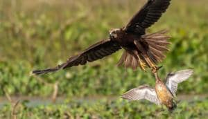 A harrier scoops a Gadwall duck from the Keshopur Chhamb, Gurdaspur.(PHOTO: VISHESH KAMBOJ)