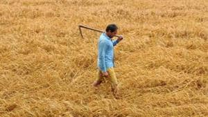 Farmers initially need diammonium phosphate, but after 21 days of wheat sowing, the crop demands urea, said Sangrur chief agriculture officer Jaswinder Pal Singh Grewal. (Representational image)(HT FILE)