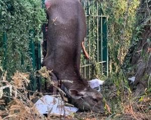 A sambar fawn speared to death on a fence within Sukhna Nature Trail.(PHOTO: DIVYE MATHUR)