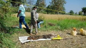 Some portions of the tiger's carcass, including one hind leg, claws, nails, and a portion of the forehead were still missing.(Sourced: Maharashtra forest department)