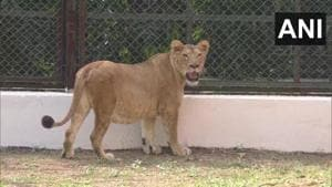 The image shows the lioness shifted to Sarthana Zoo in Gujarat.(Twitter/@ANI)