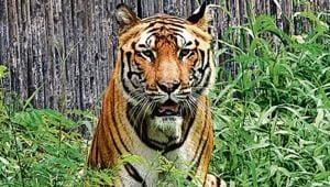 B-2 (Bittu), a 15-year-old male Royal Bengal tiger, was suffering from acute chronic kidney disorder (CKD).(Sonu Mehta/HT Photo)
