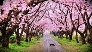 Check out these breathtaking pics as Cherry Blossoms paint Shillong pink(Twitter/NEAwareness)