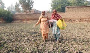 Women working in their field at Deon village in Bathinda district on Sunday.(Sanjeev Kumar/HT)