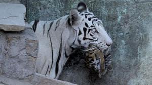 Before white tigress Nirbhaya's death, the Delhi zoo had three pairs of white tigers.(Shankar Mourya/HT representative image)