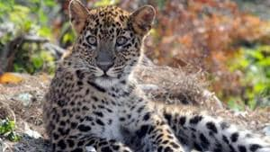 The incident happened in Pukhrora village of the district when Lila Devi, the 45-year-old woman was killed by the leopard when she had gone to feed cattle in the cowshed near her home. (Image used for representation).(HT FILE PHOTO .)