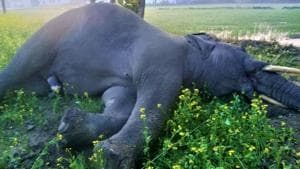 The electrocuted elephant lying in the field. (HT Photo)