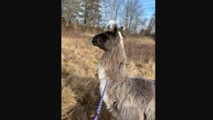 The man handed over the llama to the animal control officials.(Facebook/@NewburyportWestNewburyACO)